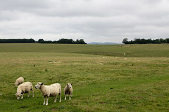 Sheep near Old Sarum