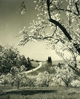 Blossom time near Salem, Oregon