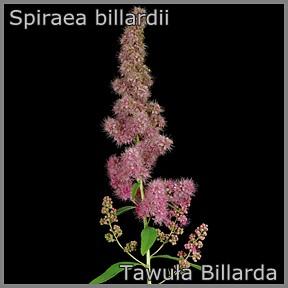 Spiraea billardii - Tawuła Billarda