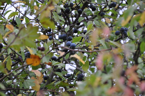 Sloes in the bushes