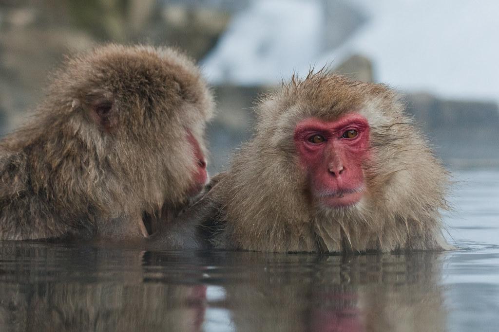 Snow Monkey-ing