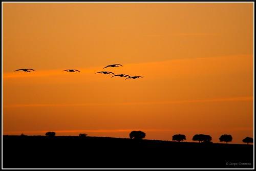 Grou-comum / The Common Crane / (Grus grus) by Sérgio Guerreiro