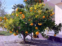 Tangerine tree in Liznjan that provides fruit for LacoDeLama marmalade