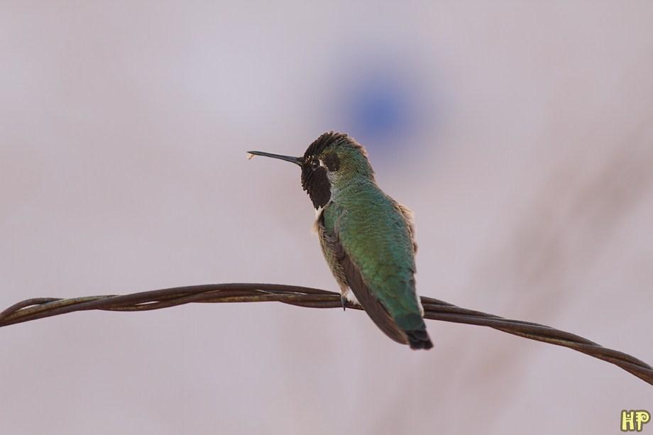 Anna's Hummingbird 122012-5