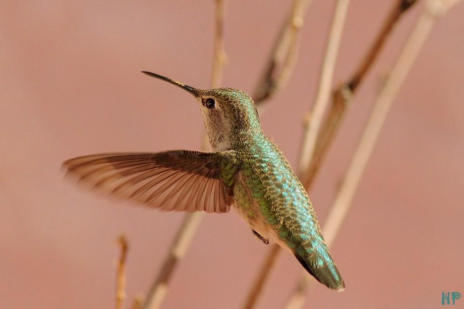 Anna's Hummingbird 122012-4
