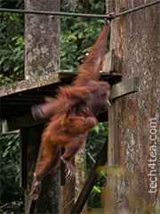 Mother and child Orang Utan on a morning swinging exercise.