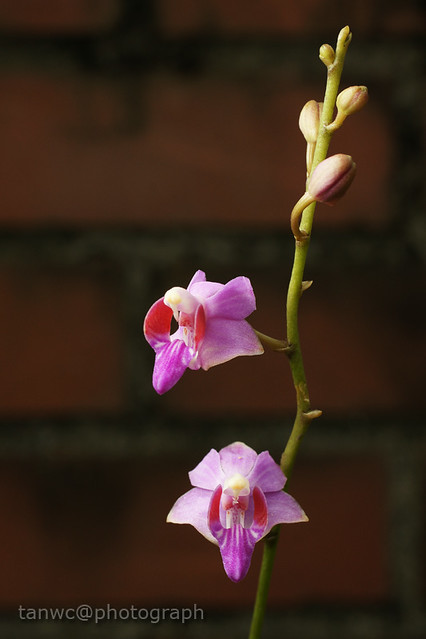 Just Orchid