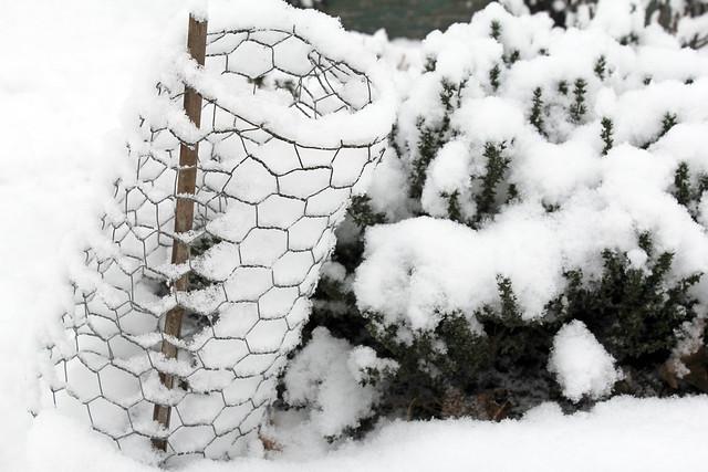 thyme under snow