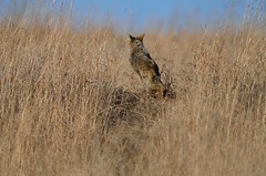 Coyote Exit DSC_2262 by Mully410 * Images