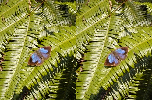 Narathura japonica, stereo parallel view
