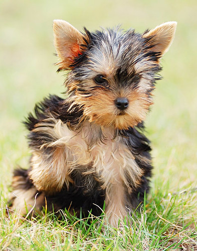 Puppy yorkshire terrier by Iurii Konoval