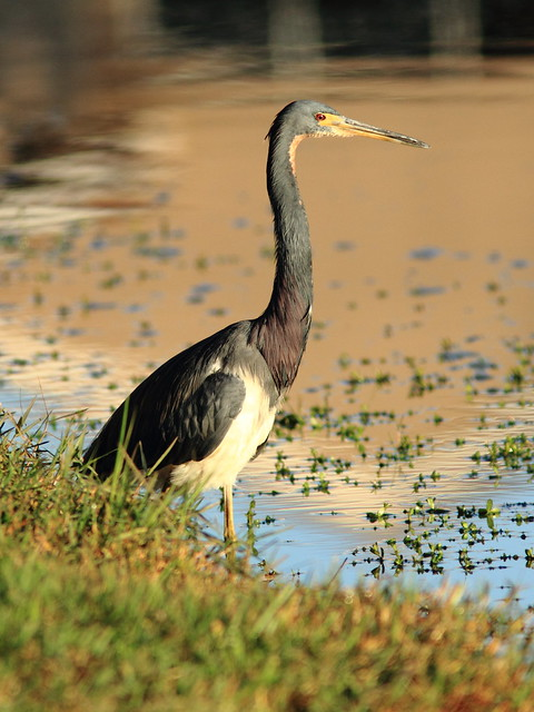 Tricolored Heron 2-20111231