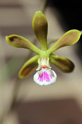 Encyclia tampensis 'No.1'