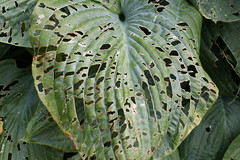 arecales(0.0), tropics(0.0), rainforest(0.0), flower(0.0), tree(0.0), plant(0.0), plant stem(0.0), leaf(1.0), flora(1.0), green(1.0), plant pathology(1.0),