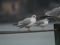 Black-headed Gull, Port Orange, FL
