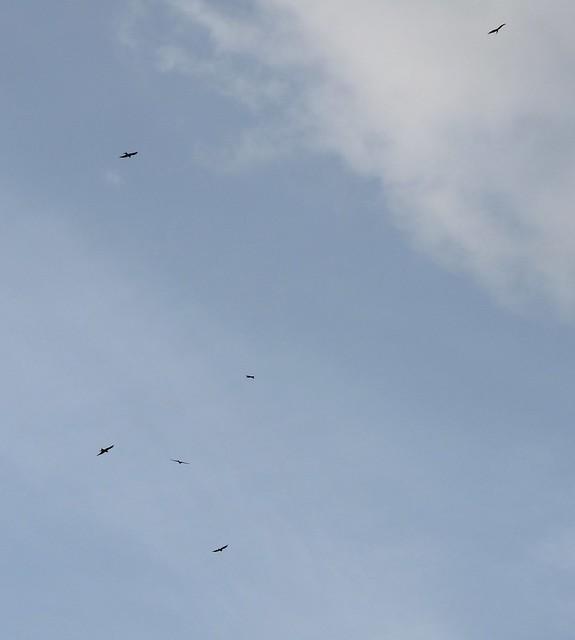 25493 - Red Kites