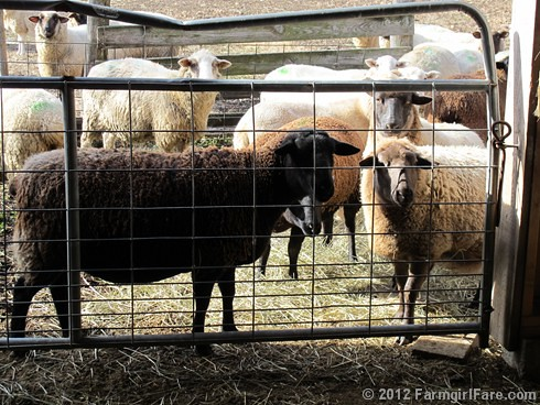 Pregnant sheep looking for treats - FarmgirlFare.com