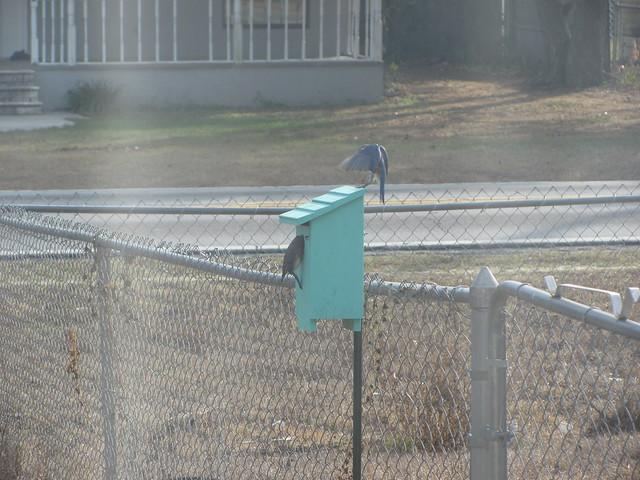 BlueBirds checking out nextbox 02