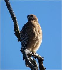 Coopers Hawk 038