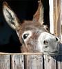burro 1