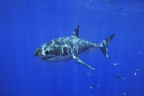 White Shark from Guadalupe