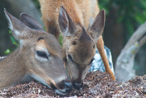 Key deer fawn and doe by alumroot