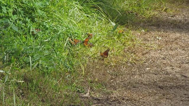 MVI_0866 Monarch butterfly cluster  Santa Barbara Shores, Sperling Preserve