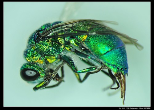 Cuckoo Wasp (Family Chrysididae)