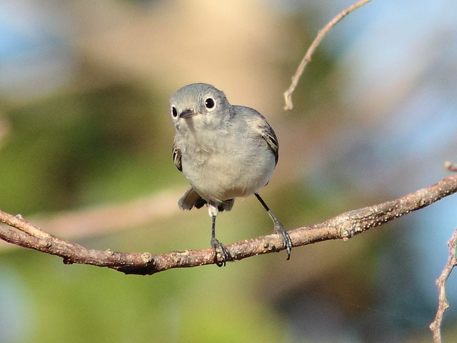 Blue-gray Gnatcatcher 3-20120125