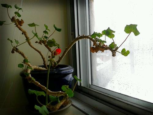 Winter geranium by scosborne