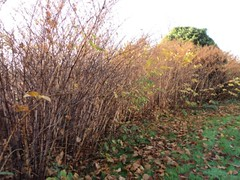 Japanese Knotweed, Carys Meadow, Norwich, 2011 (Lisa John) 1