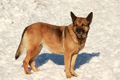 czechoslovakian wolfdog(0.0), carolina dog(0.0), street dog(0.0), shikoku(0.0), korean jindo dog(0.0), wolfdog(0.0), saarloos wolfdog(0.0), norwegian lundehund(0.0), dog breed(1.0), animal(1.0), dingo(1.0), dog(1.0), pet(1.0), finnish spitz(1.0), belgian shepherd malinois(1.0), carnivoran(1.0),