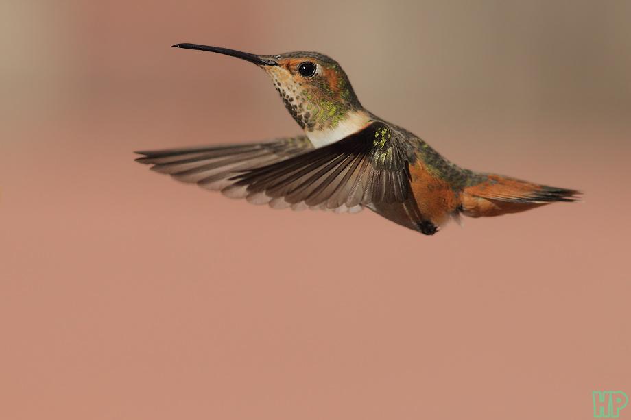 Allen's-Hummingbird012912-3