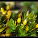 Orthotrichum - Photo (c) Christophe Quintin, some rights reserved (CC BY-NC)