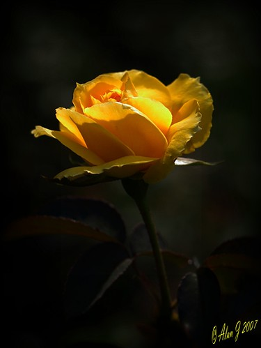 ny newyork flower rose canon 7d upstatenewyork centralparkschenectady 100mmmacrof28lisusm