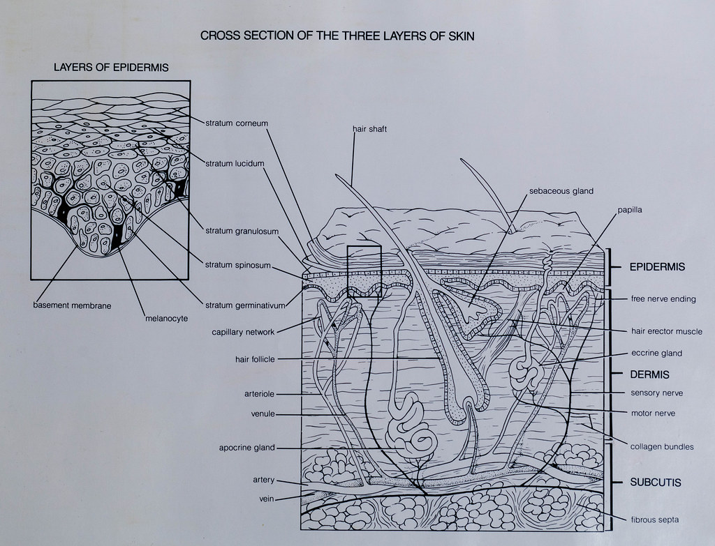 Cross Section of the Three Layers of Skin