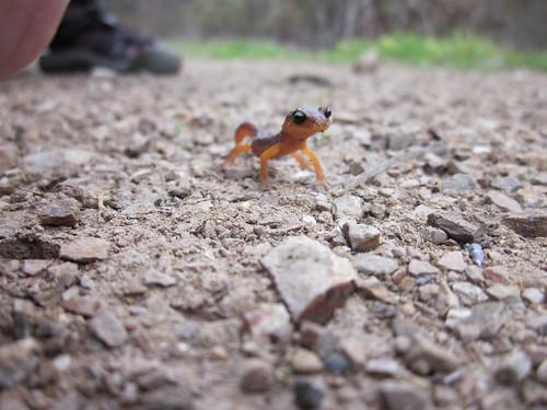 Baby California Newt
