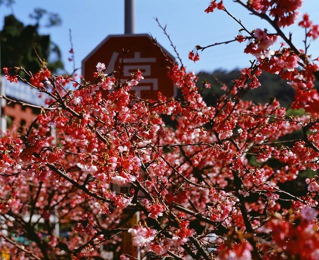 Pentax 6x7 拍烏來之春