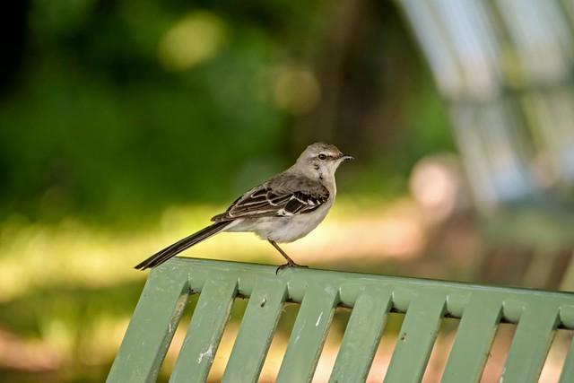 Bird on Bench w/Bokeh