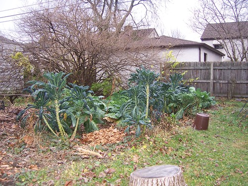 Kale, collards, and headless cabbage in late November central Ohio garden
