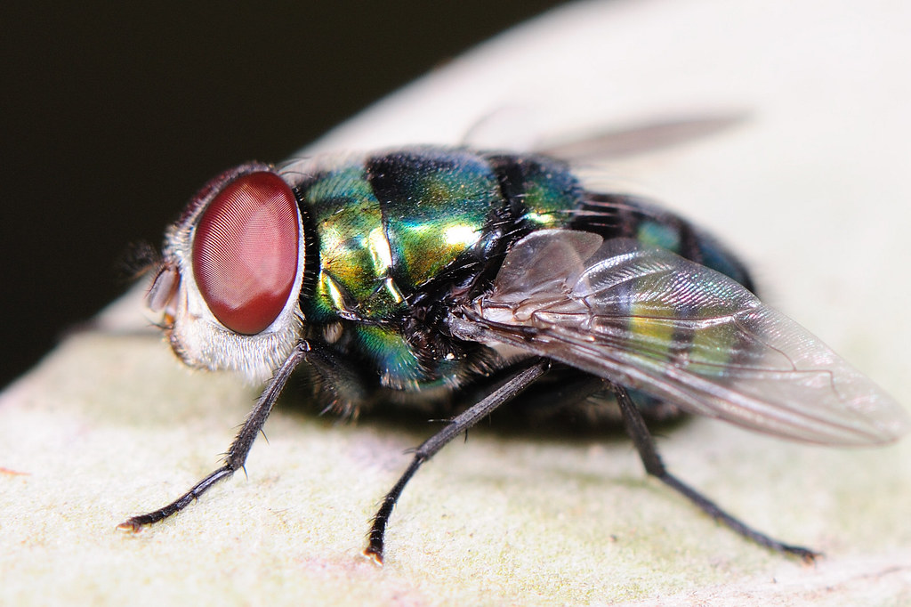 麗蠅 Calliphoridae