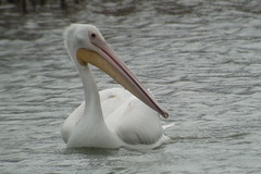 Am. White Pelican, Niagara-on-the-lake, ON