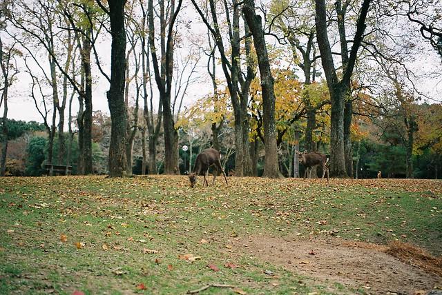 奈良公園的鹿