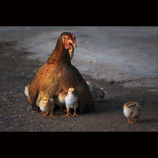 Mother hen with chicks [ EXPLORED ]