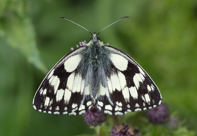 marbled white butterfly 8