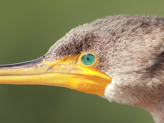 Eye of the cormorant 20111204