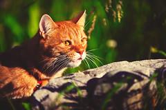 Walking Red Cat!