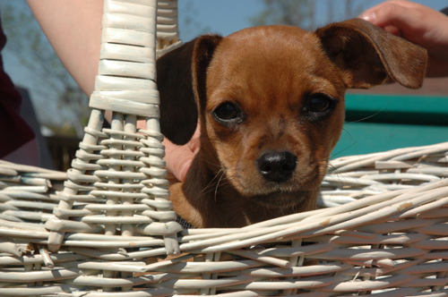 puppy Gracie - in a basket