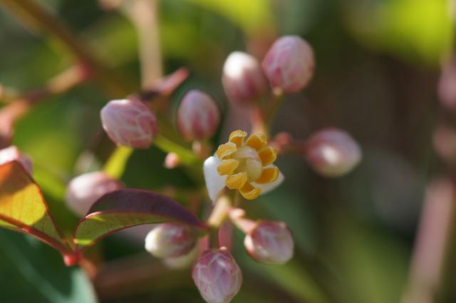 Nandina Flower