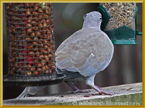 Collared Dove 2